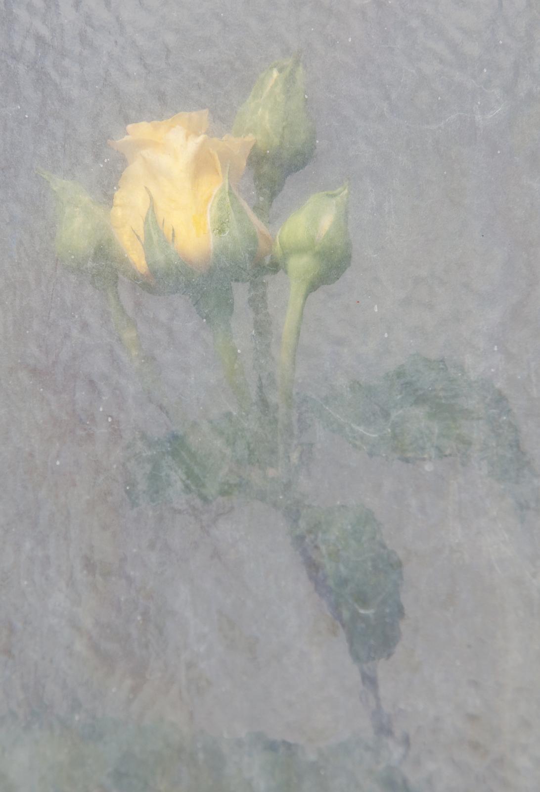 boccioli gialli 2